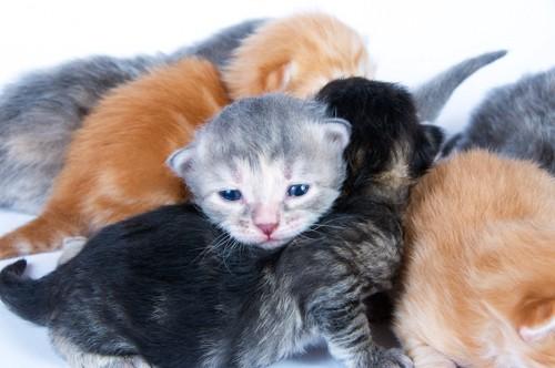 たくさんの生まれたての子猫