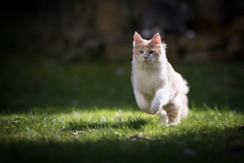 ダッシュする猫