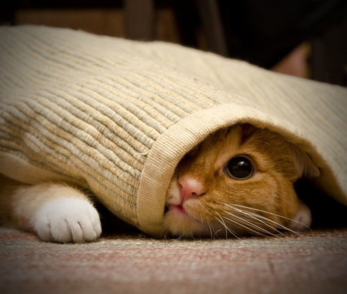 カーペットに隠れる茶トラ