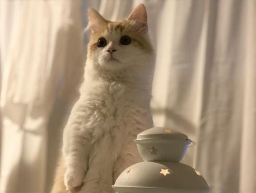 ランプの横で立ってるマンチカン