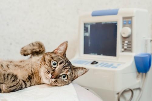 動物病院のベッドに乗る猫
