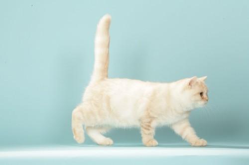 しっぽを立てて歩く猫