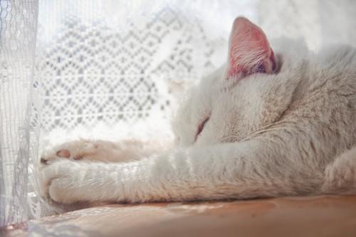 窓辺でカーテン越しに日向ぼっこする猫