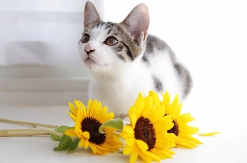 猫とひまわり