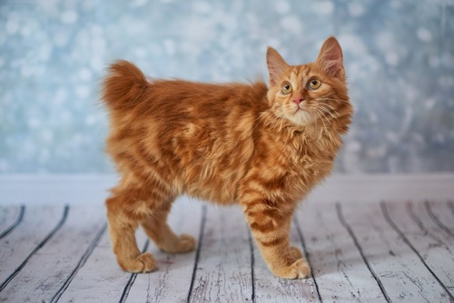 しっぽの短い猫