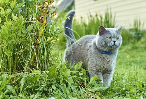 草陰から出てくる貫禄のある灰色猫