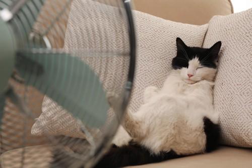 扇風機を前にソファでくつろぐ白黒猫
