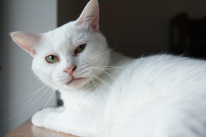 目に炎症がある猫