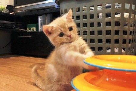 ボールのおもちゃで遊んでいる子猫