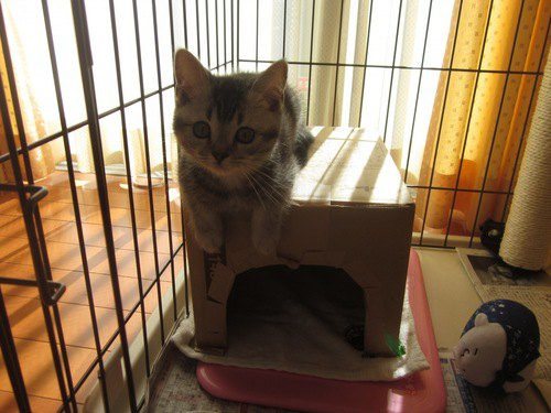 段ボールハウスに乗る子猫ちゃん