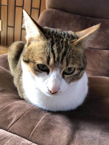 箱座りしている猫