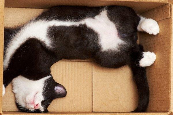 段ボールに入黒白猫