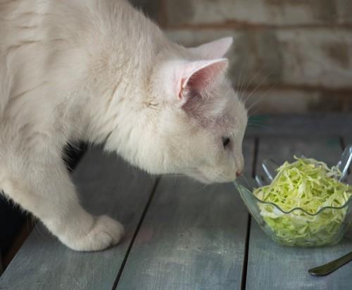 キャベツに興味を示す猫