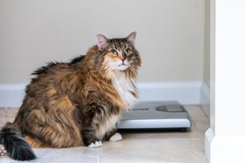 猫と体重計