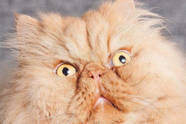 ペルシャ猫の顔のアップ