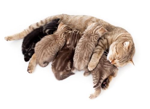 母乳を与える母猫とそれを飲む子猫たち