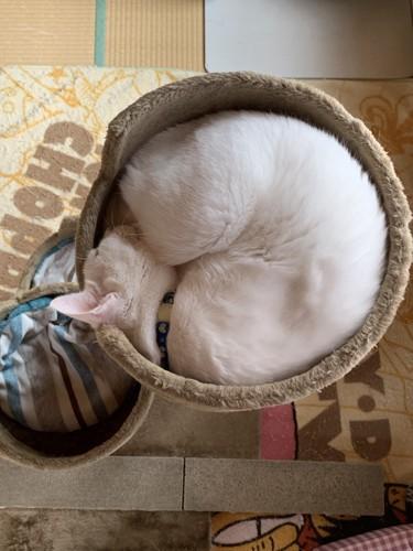 まんまるなアンモニャイトで眠る猫