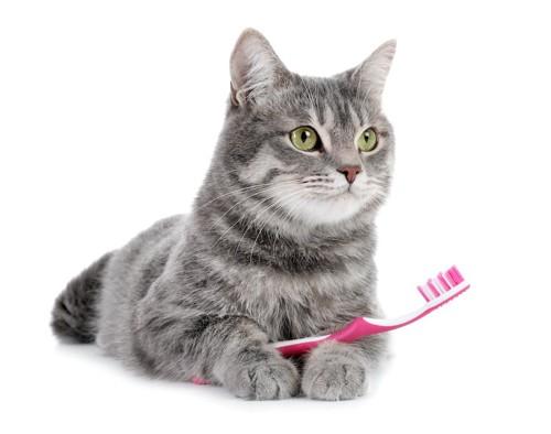 歯ブラシを持って伏せている猫