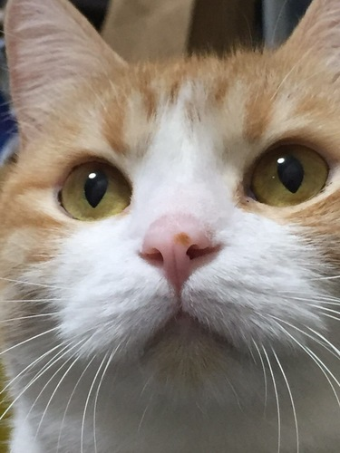 一点を見つめる猫の目元