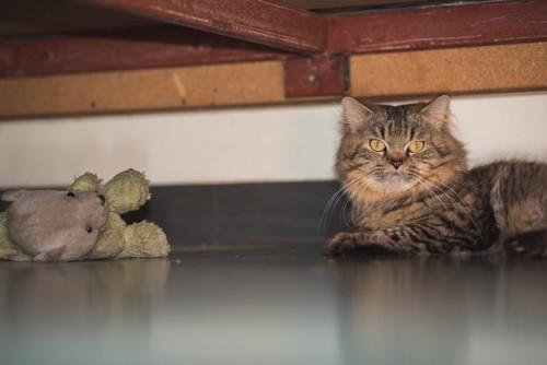 おもちゃを隠す猫