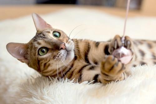 おもちゃをつかんで止まる猫