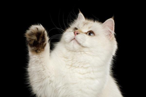 背景の黒い白い猫