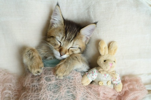 ぬいぐるみと一緒に布団をかけて眠る猫