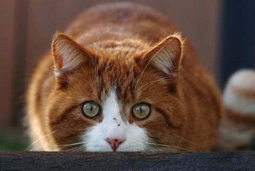 姿勢を低くする猫の顔