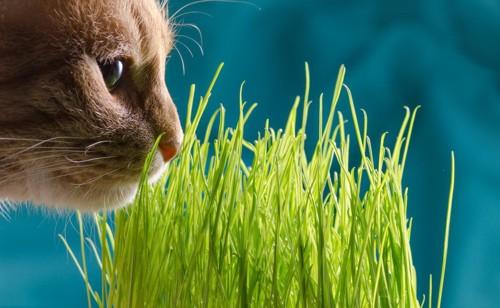 猫草に顔を近づける猫