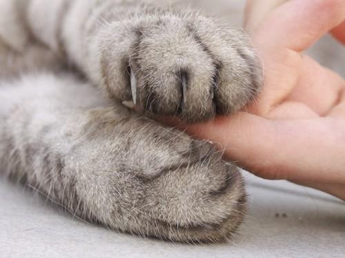 人の指を挟む猫の両手アップ