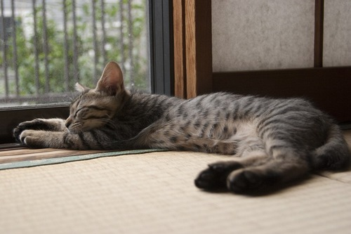 畳で寝ている猫