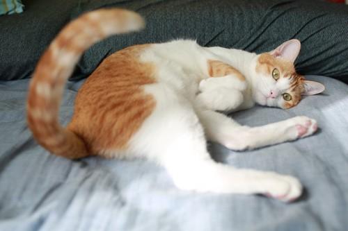 しっぽを上げて横になる猫
