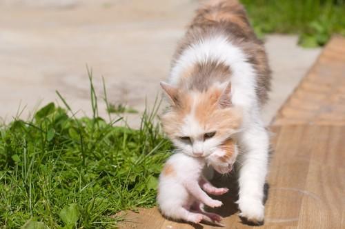 子猫の首を嚙んで運ぶ猫