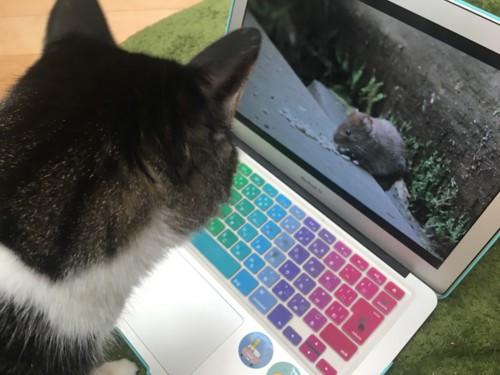ネズミに興味を示す猫