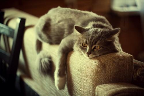 ソファの背に乗ってだらりとする猫