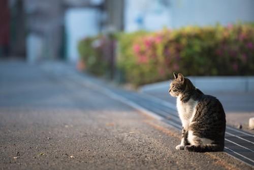 夕日を浴びて道に座る猫