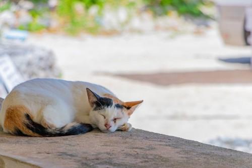丸くなって寝る三毛猫