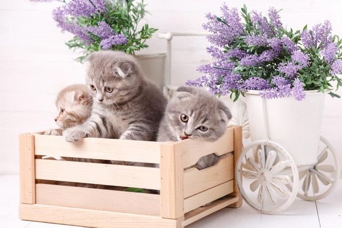 172845447 スコ子猫
