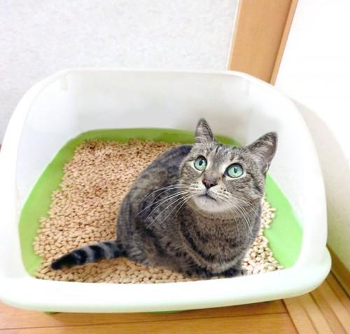 猫砂を使っている猫ちゃん