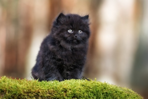 黒のブリティッシュロングヘア