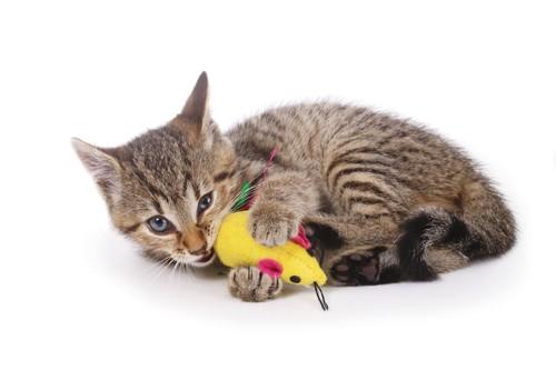 ネズミのおもちゃを抱えて齧る猫