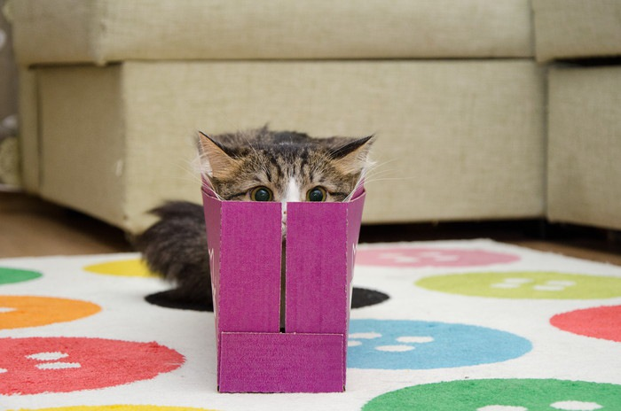 箱にはまった子猫