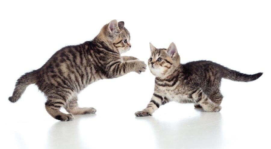 遊んでいる二匹の子猫