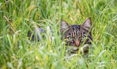 草むらに潜んで獲物を狙う猫