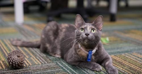 床に寝るグレーの猫