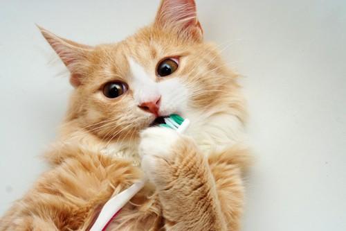 歯ブラシを噛んで遊ぶ猫