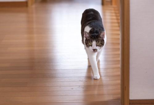 室内を歩くキジトラ猫