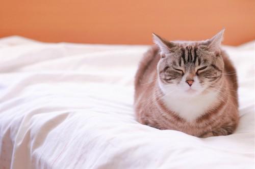 香箱座りで寝る猫