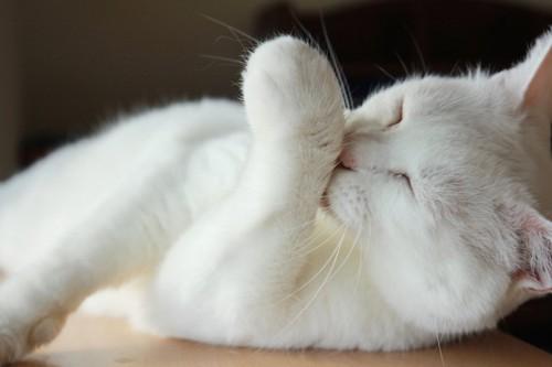 手を毛繕いしている白い猫