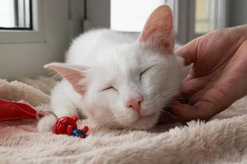 撫でられる穏やかそうな白猫